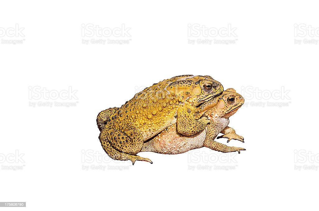Two toads during the breeding royalty-free stock photo