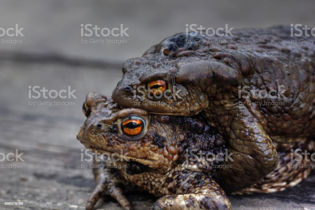 Two toads. Love. stock photo