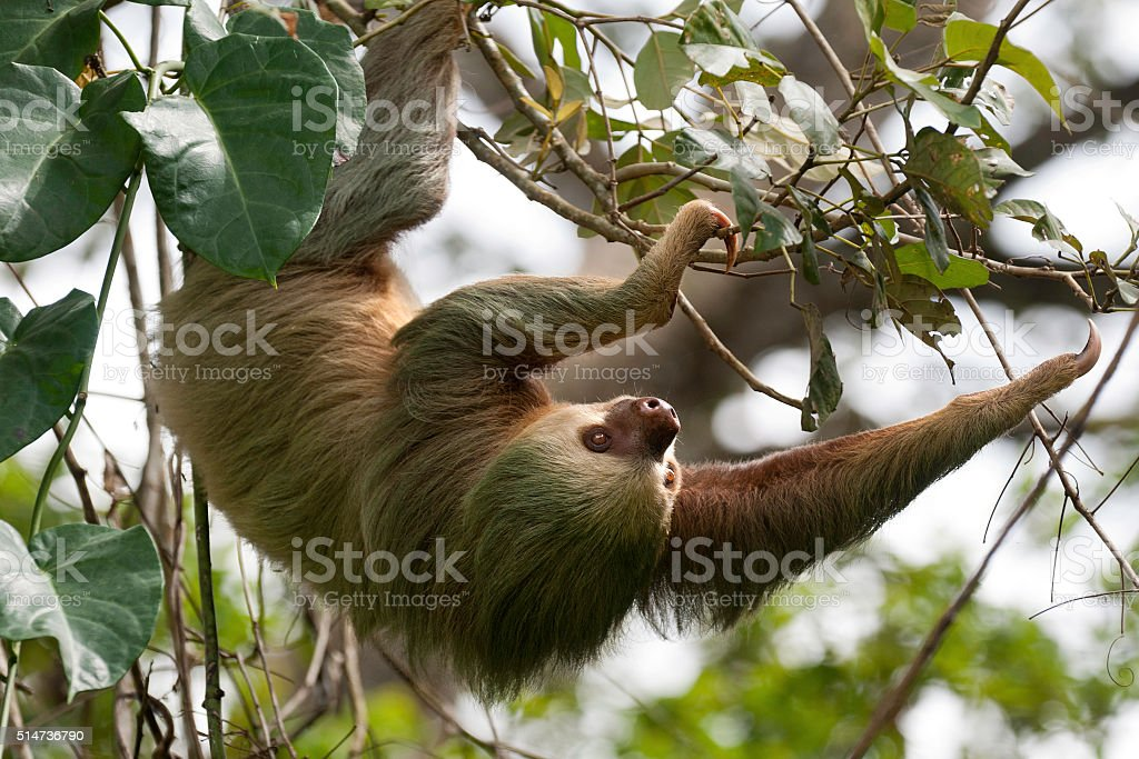 Two toed sloth stock photo