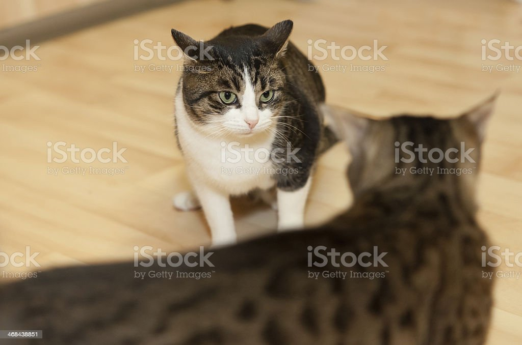 two tomcats stock photo