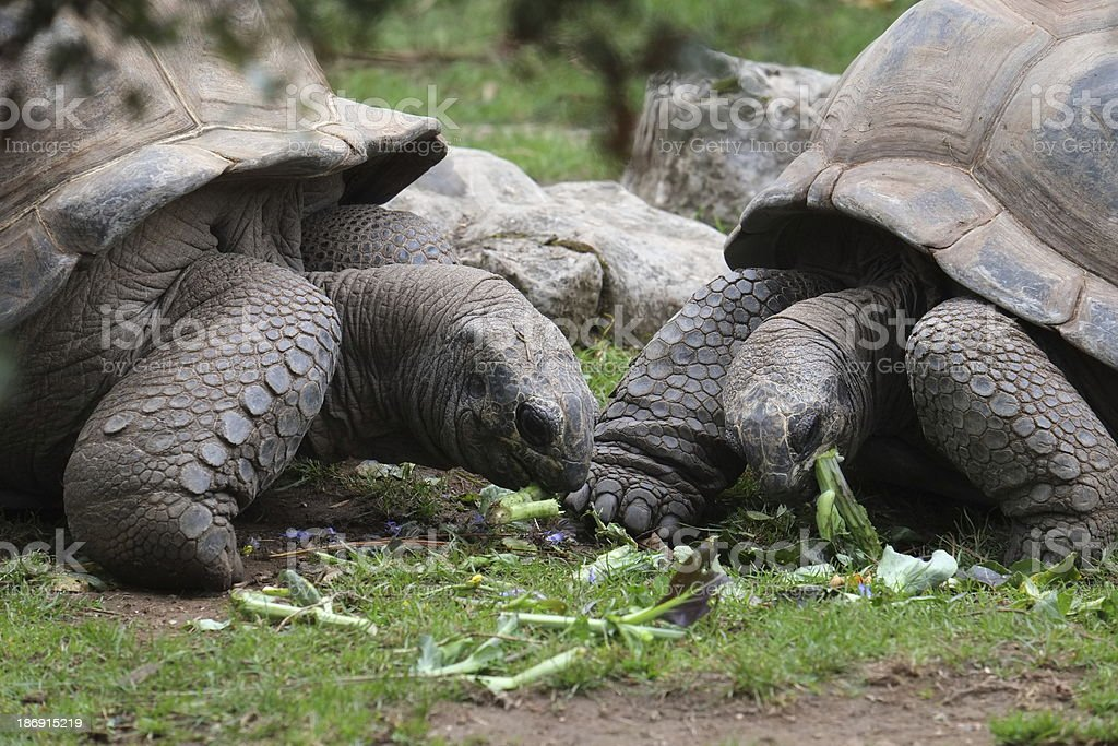 Two Tortoises Feeding royalty-free stock photo