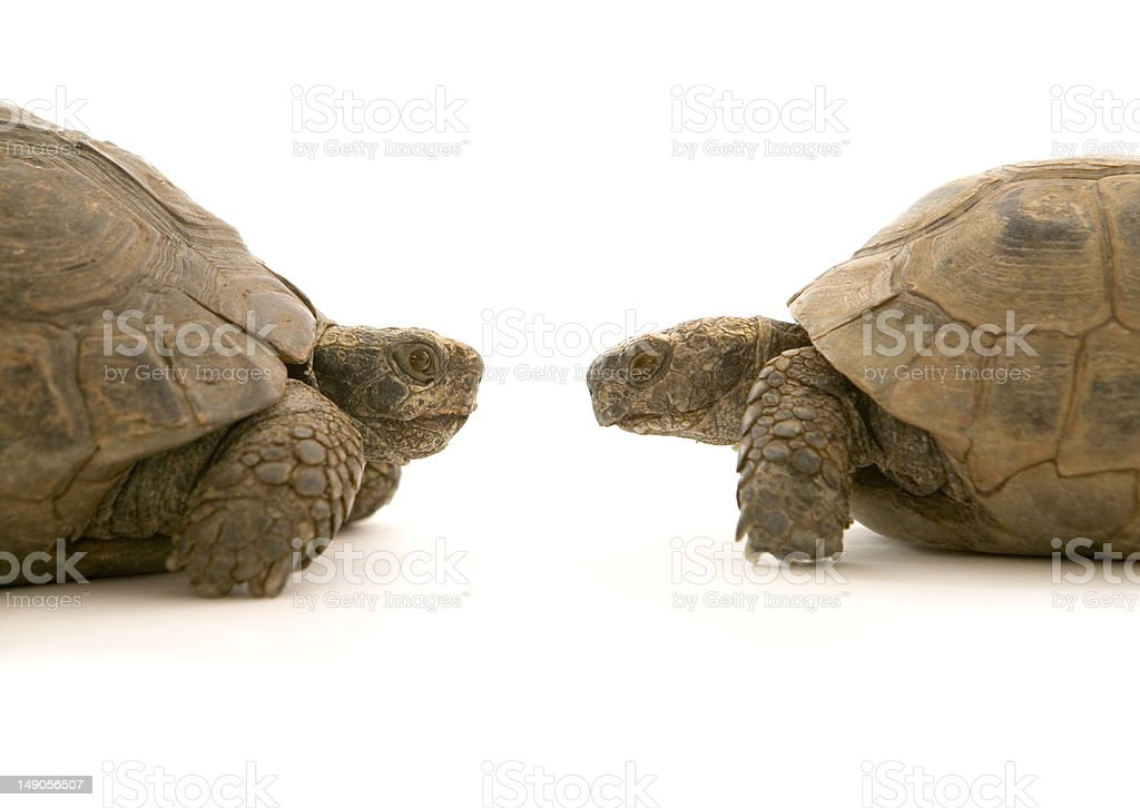 Two tortoises in profile facing each other royalty-free stock photo