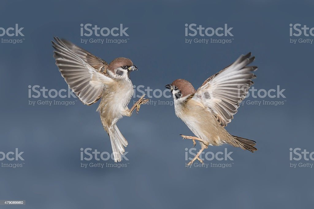 Two Tree Sparrows fighting in flight stock photo