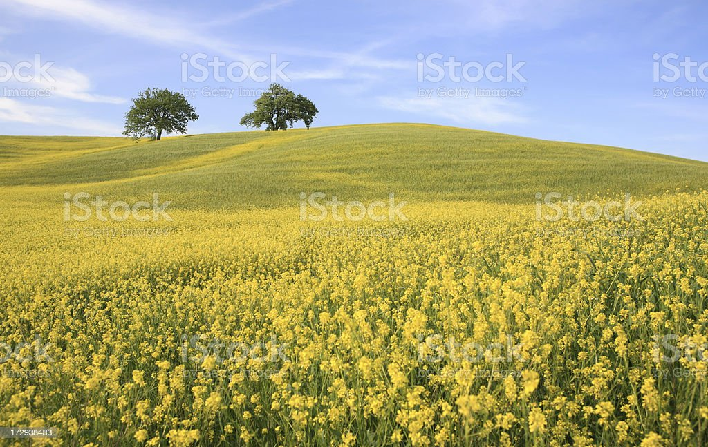 Two trees and yellow meadow in Val d'Orcia, Tuscany Italy stock photo