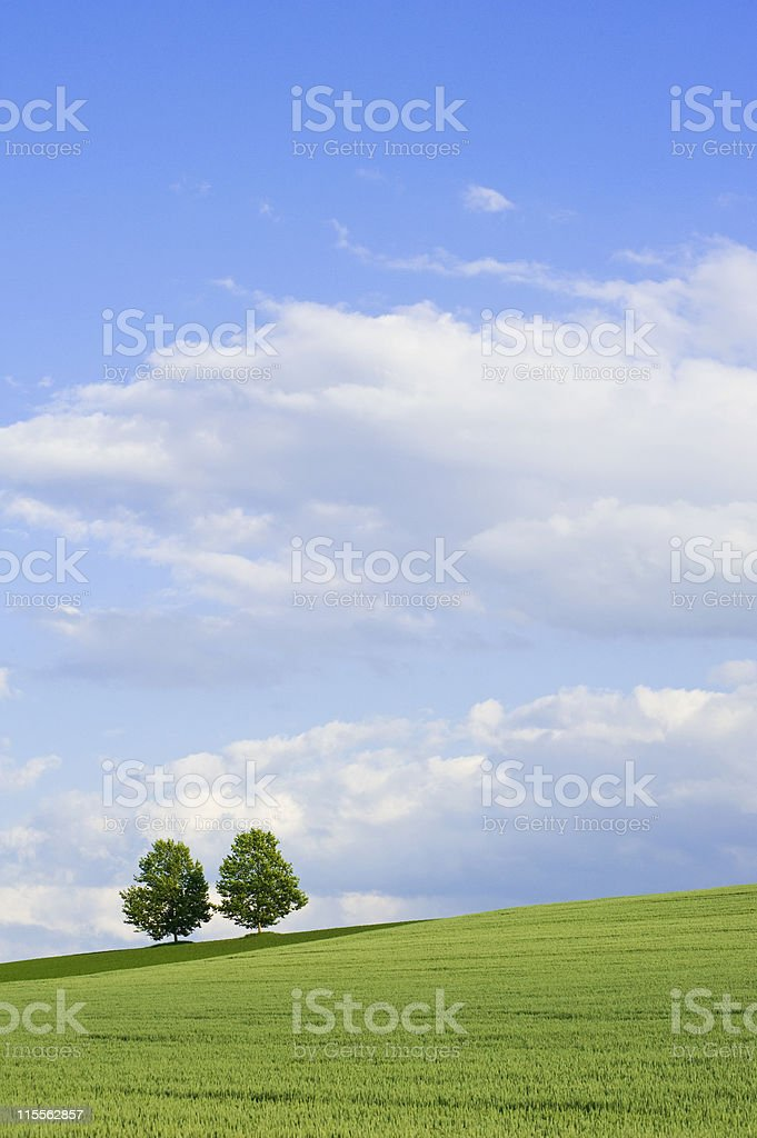 Two trees in a hilly field of wheat royalty-free stock photo