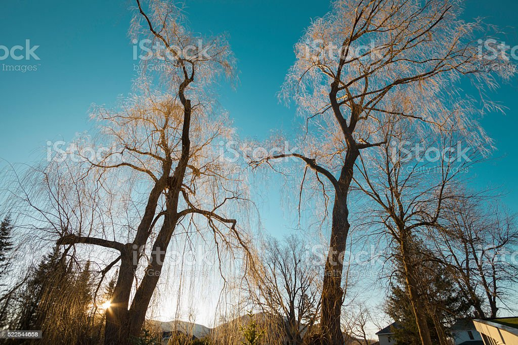two trees in spring stock photo