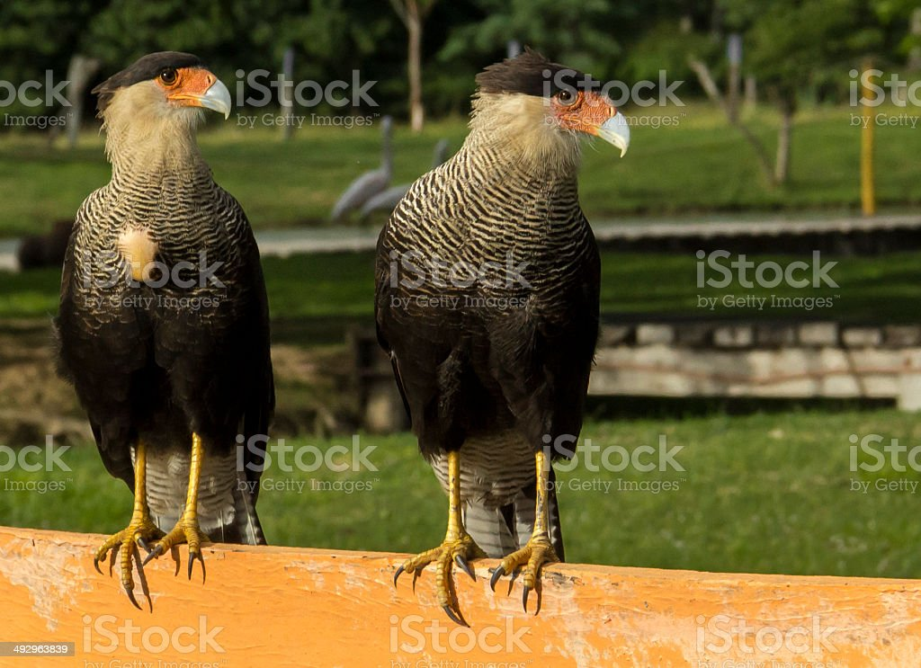 Two Tropical Birds stock photo