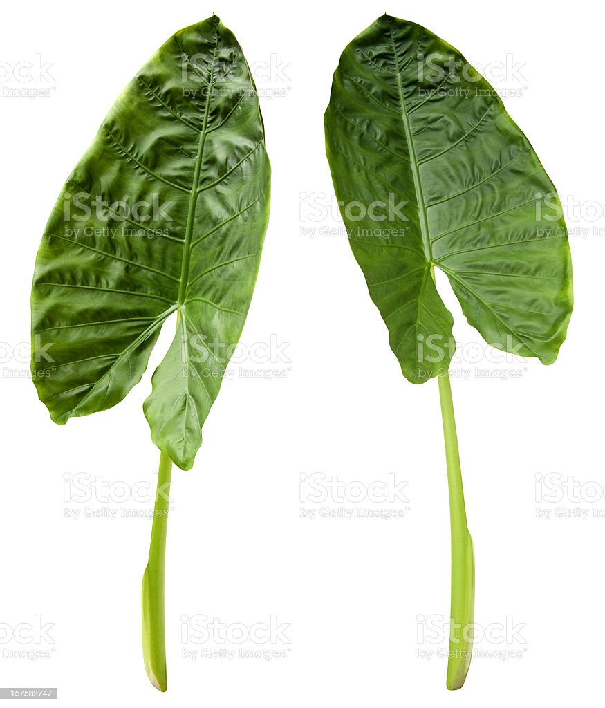 Two tropical green leaves isolated on white with clipping path royalty-free stock photo