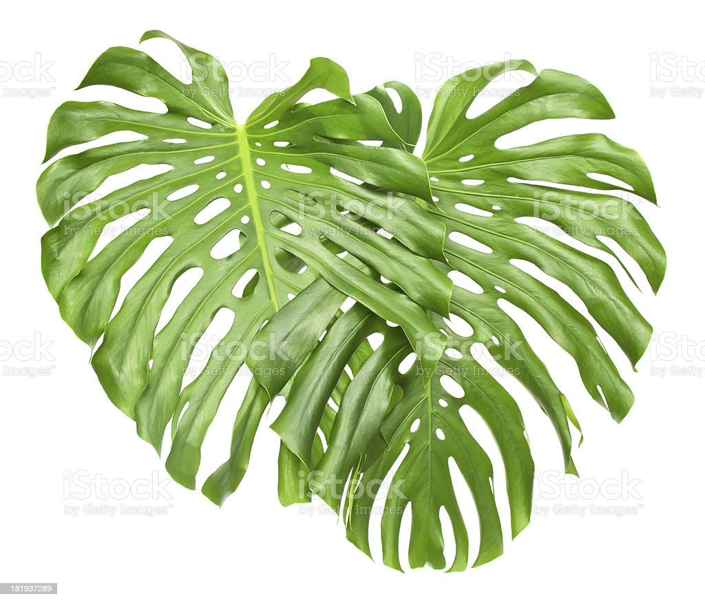 Two tropical leave royalty-free stock photo