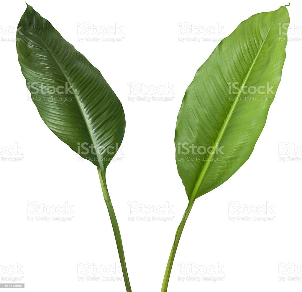 Two tropical plants isolated on white with clipping path royalty-free stock photo