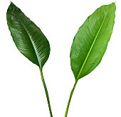 Two tropical plants isolated on white with clipping path