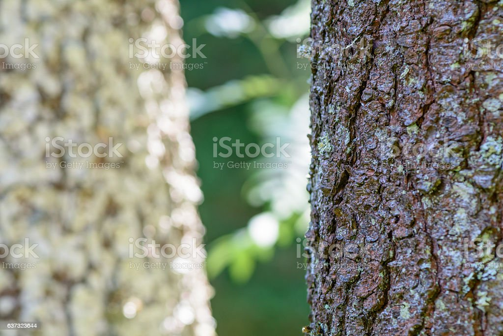 Two trunks in closeup, macro. Green lichen and a gray-brown stock photo