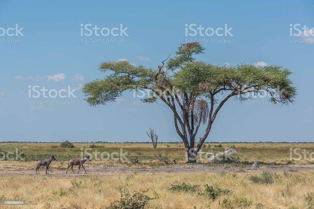 Two tsessebe pass acacia tree on savannah stock photo