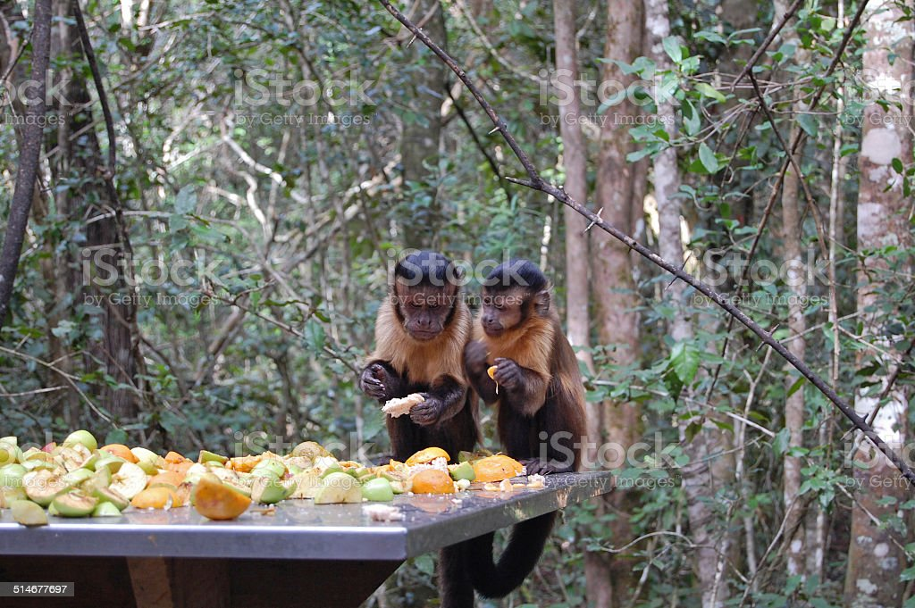 two tufted capuchin monkeys stock photo