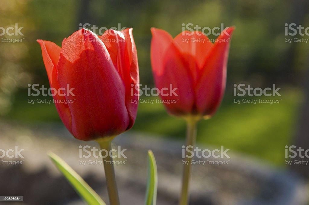 Two Tulips stock photo