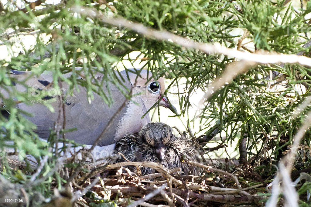 Two turtle doves in a nest stock photo
