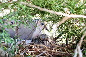 Two turtle doves in a nest