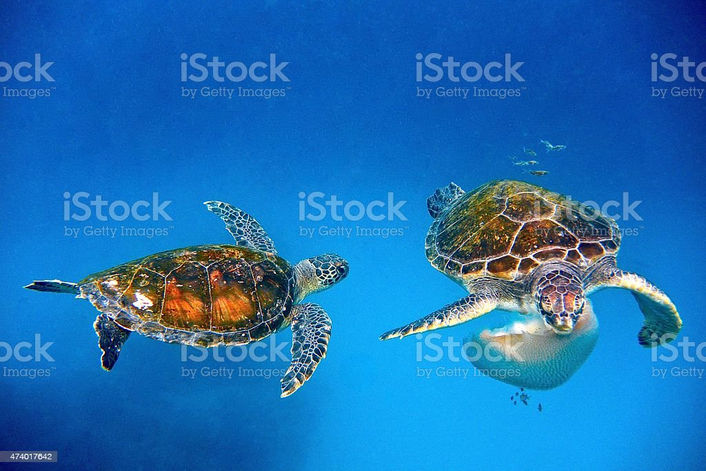 Two turtles eating a jelly fish. stock photo