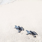 Two turtles newborn are reaching the sea. Freedom concept.