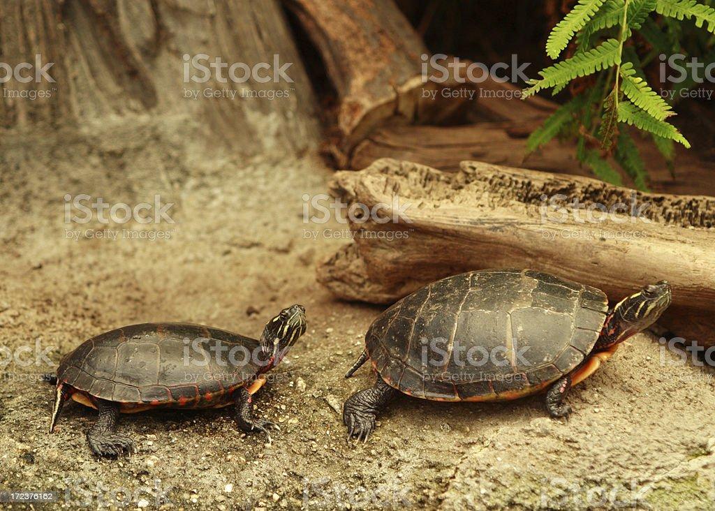 Two Turtles royalty-free stock photo