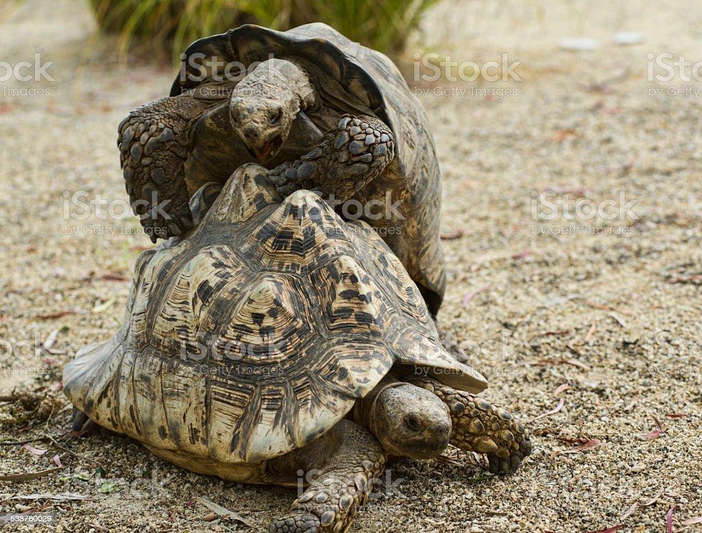 Two turtles stock photo