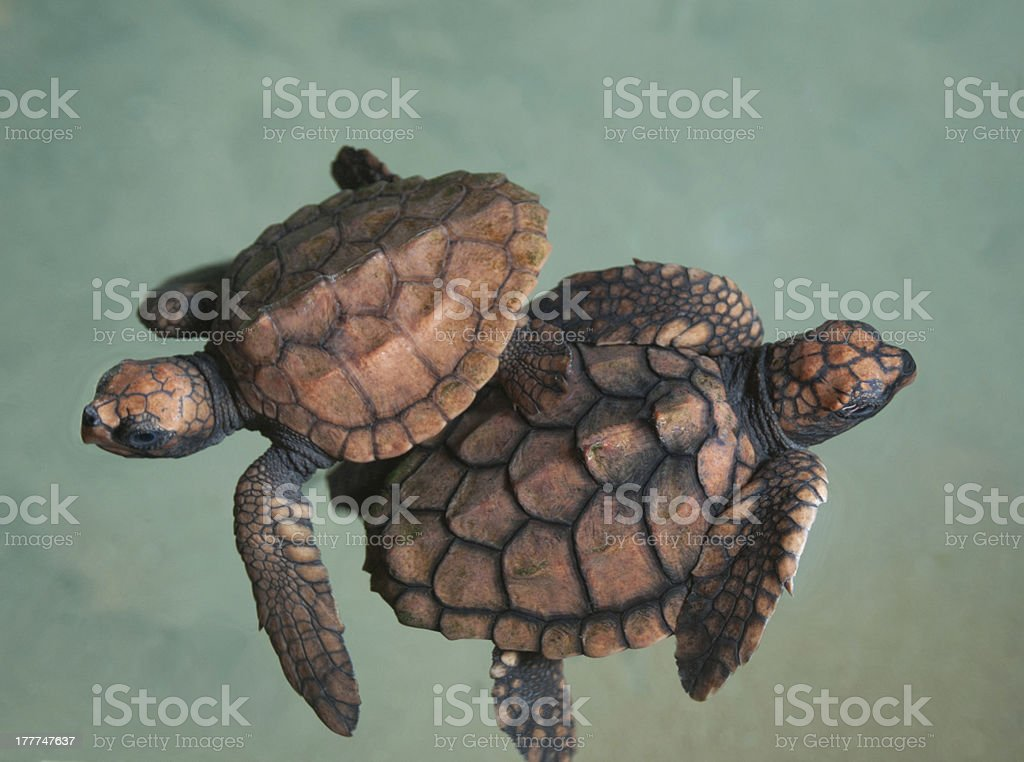 two turtlets royalty-free stock photo