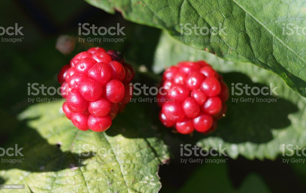 Two unripe red blackberries stock photo