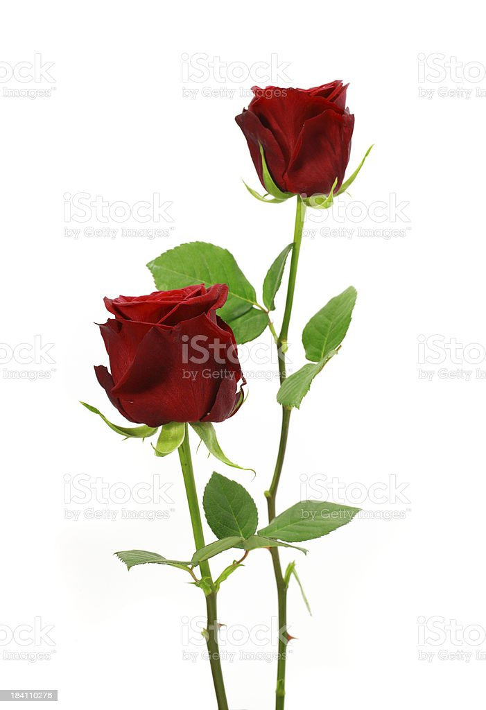 Two upright red roses and stems isolated on white background stock photo