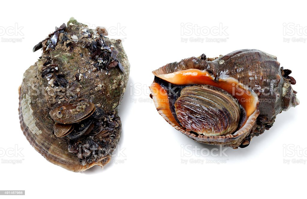 Two veined rapa whelk covered with small mussels stock photo