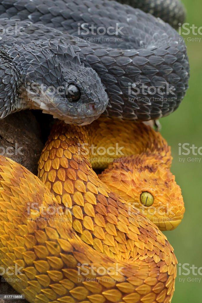 Two Venomous Bush Viper Snakes Coiled to Strike stock photo