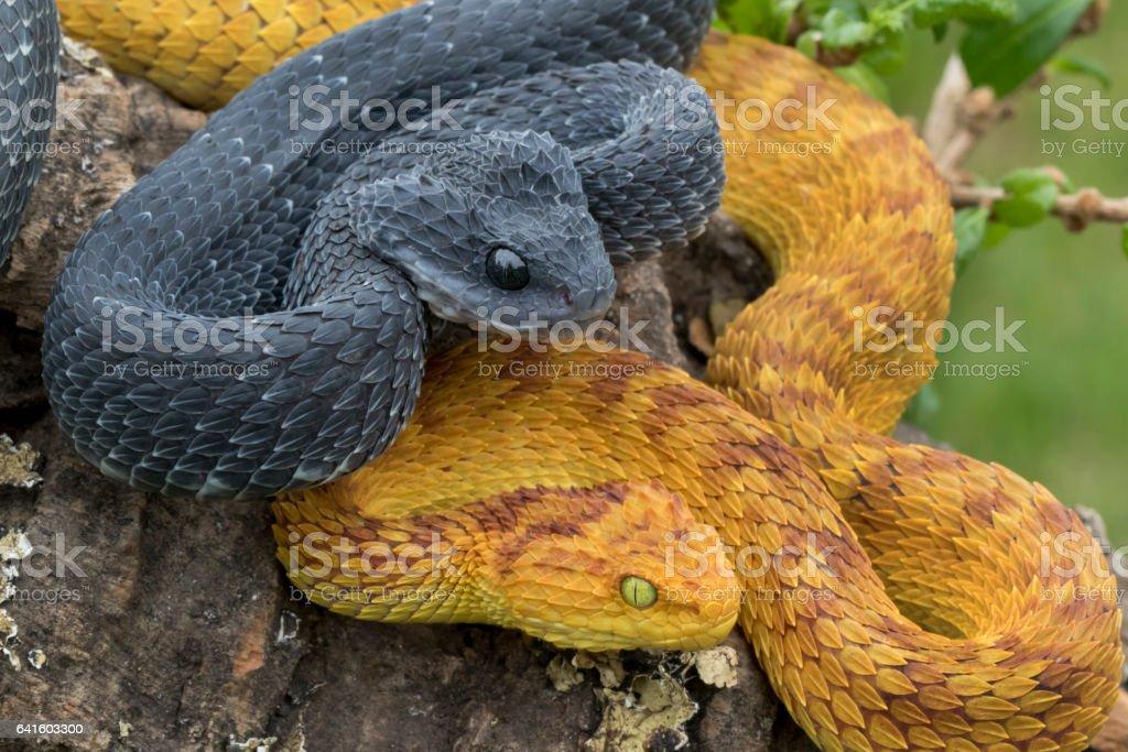 Two Venomous Bush Viper Snakes in Tree stock photo