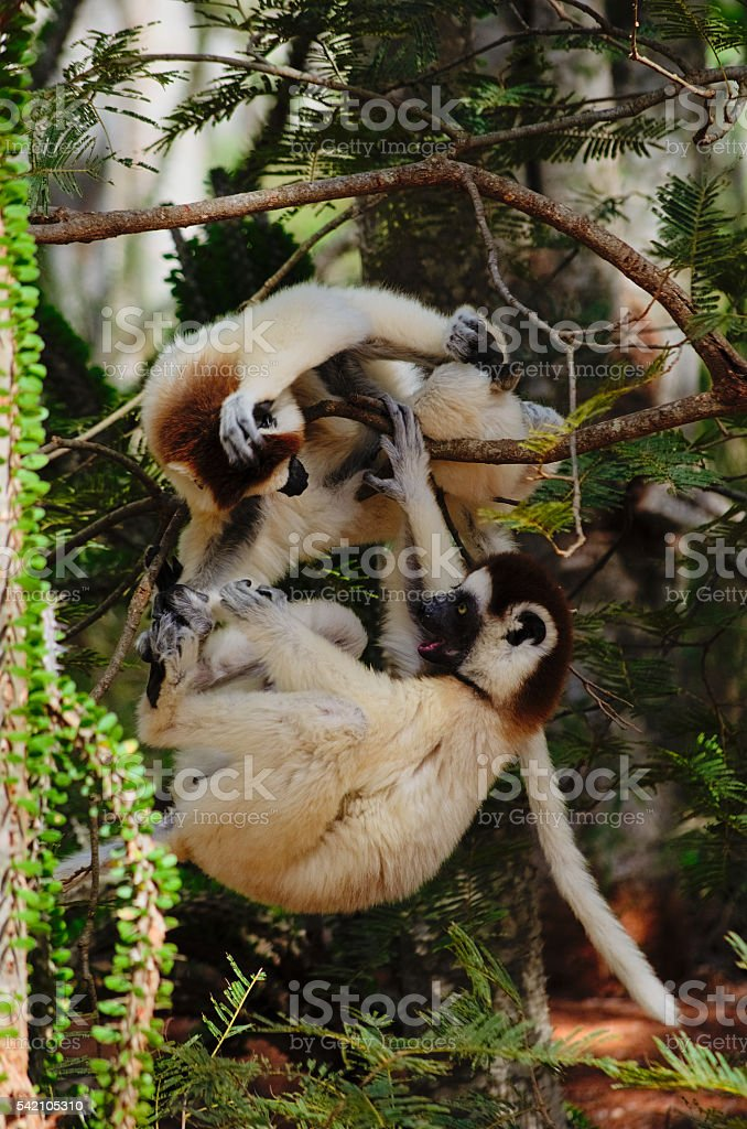 two verreaux's sifaka lemur fighting stock photo