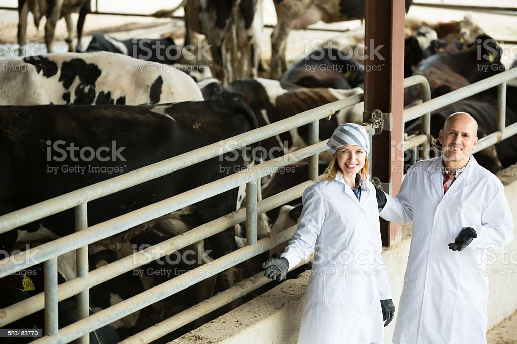 Two veterinarians caring cows in farm stock photo