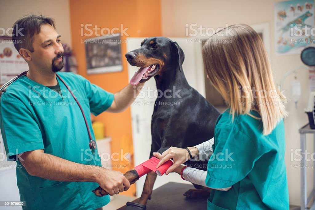 Two vets cooperating while wrapping a dog's leg with bandage. stock photo