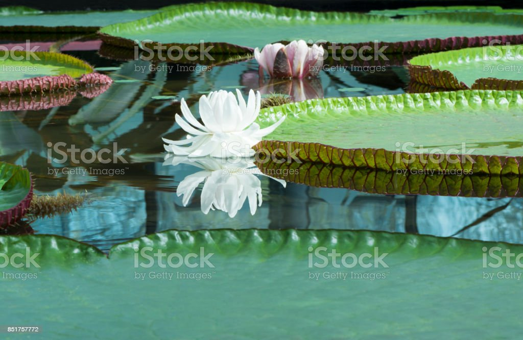 Two Victoria Amazonica - Amazon Waterlily stock photo