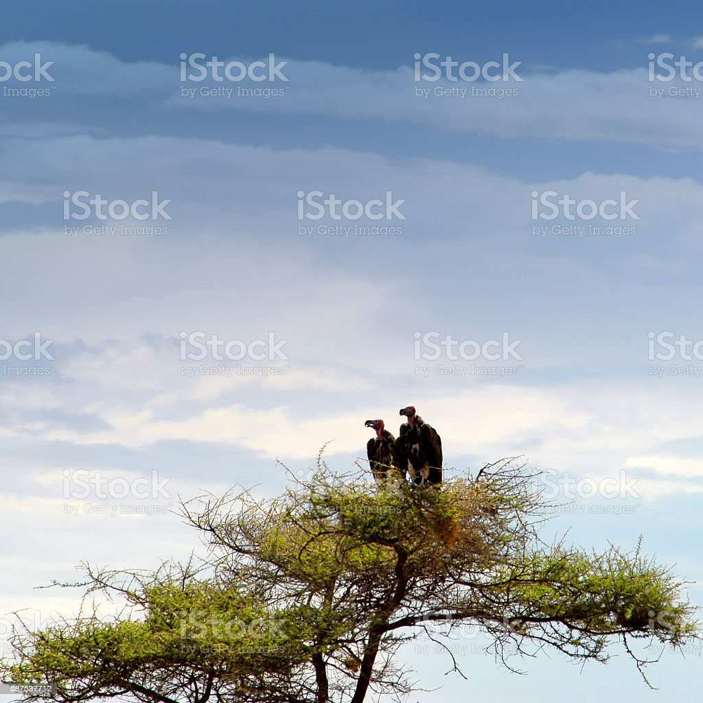 Two vultures  in the tree,Serengeti National Park,Tanzania stock photo