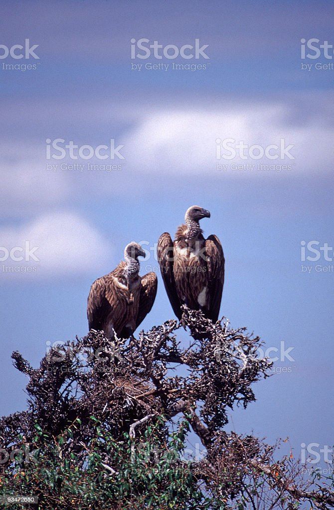 Two Vultures on an Acacia tree stock photo
