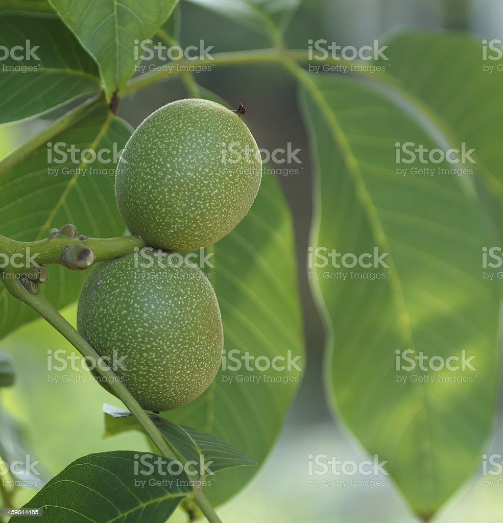 two walnuts royalty-free stock photo