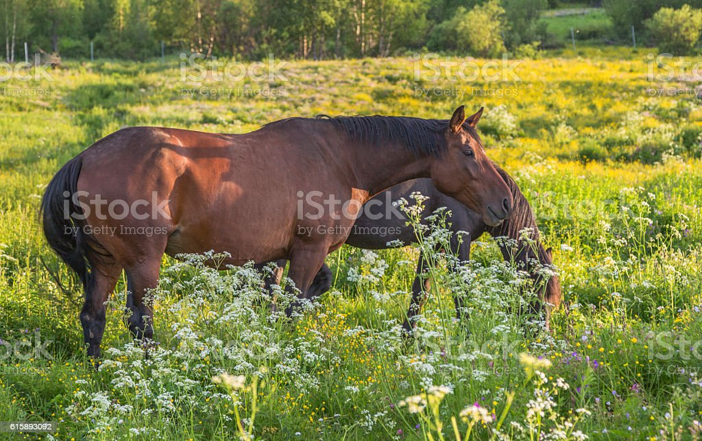 Two warm blood horses stock photo