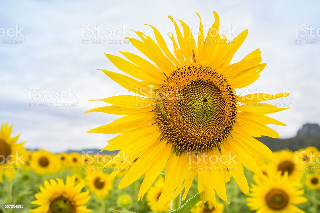 Two warm eating sunflower pollen stock photo