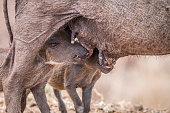 Two Warthog piglets suckling.