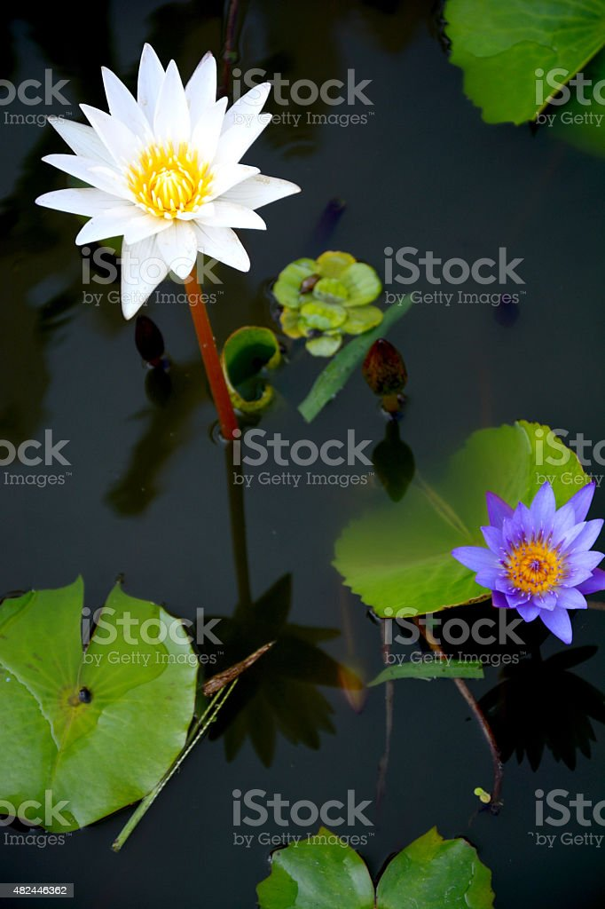 two water lily stock photo