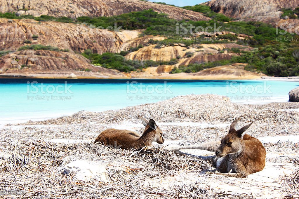 Two Western Grey Kangaroos relaxing on Beach, Cape Le Grand stock photo