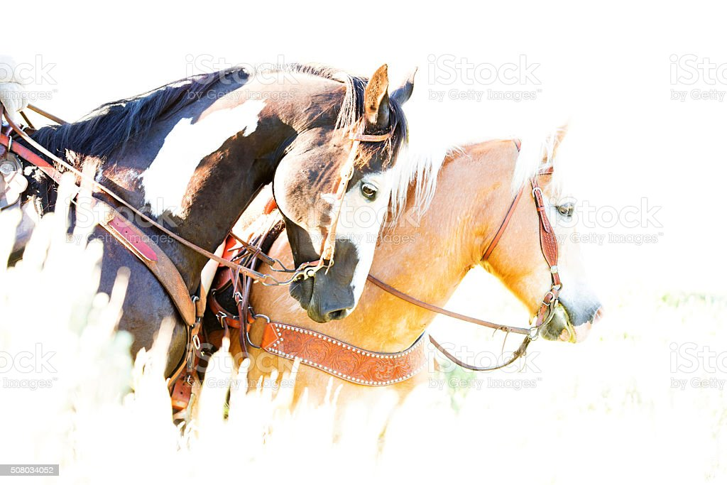 Two Western Horses Waiting Patiently In Morning Prairie Grasses stock photo