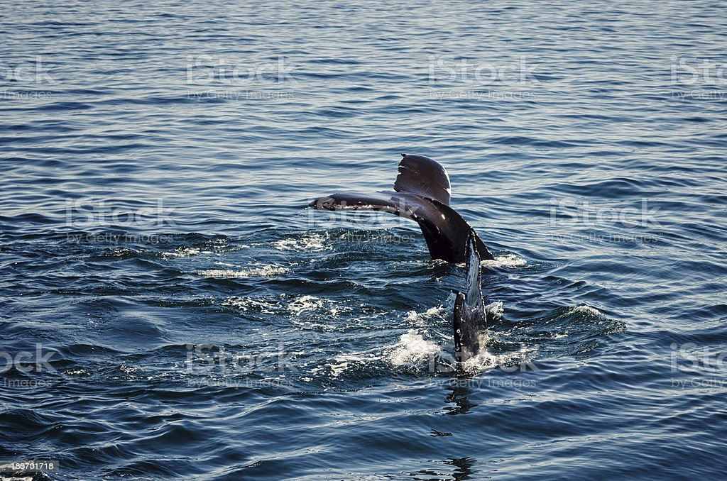 Two Whale Tails royalty-free stock photo