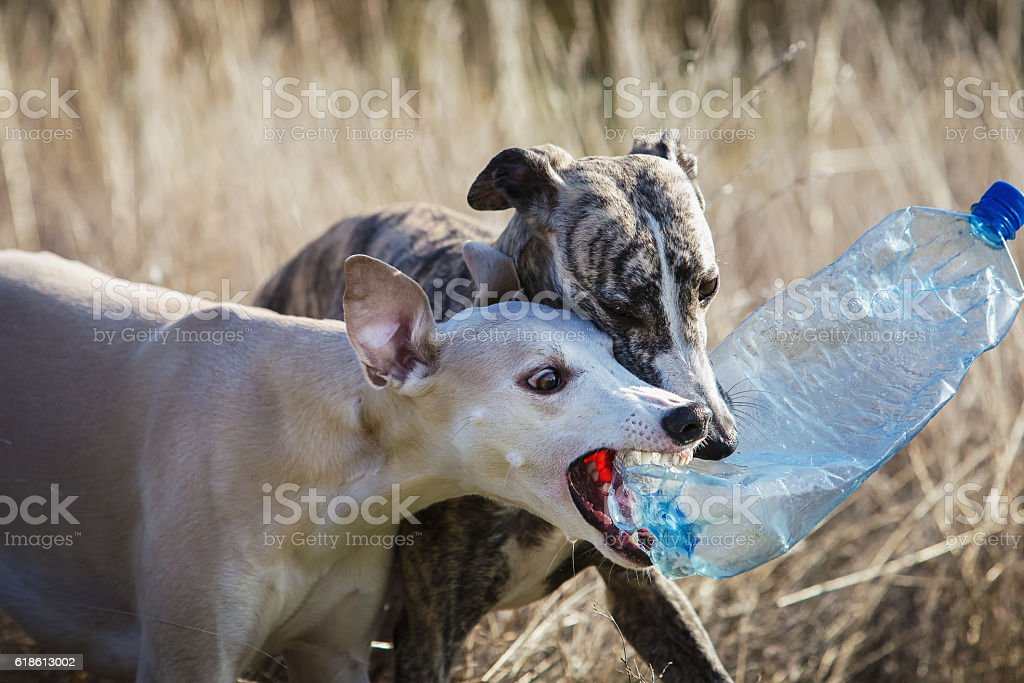 Two whippet dog playing stock photo