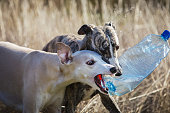 Two whippet dog playing