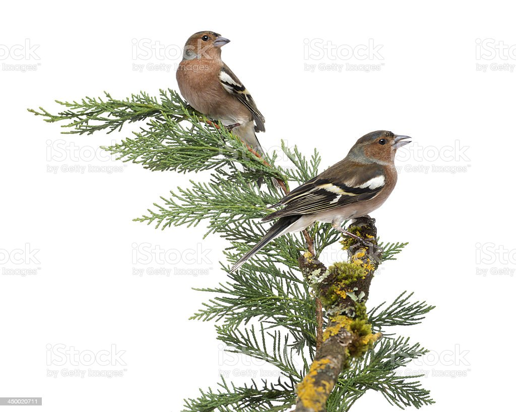 Two whistling Common Chaffinch Males - Fringilla coelebs royalty-free stock photo