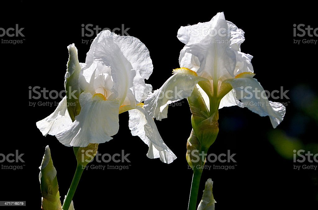Two White Bearded Iris Plant Blossoms stock photo