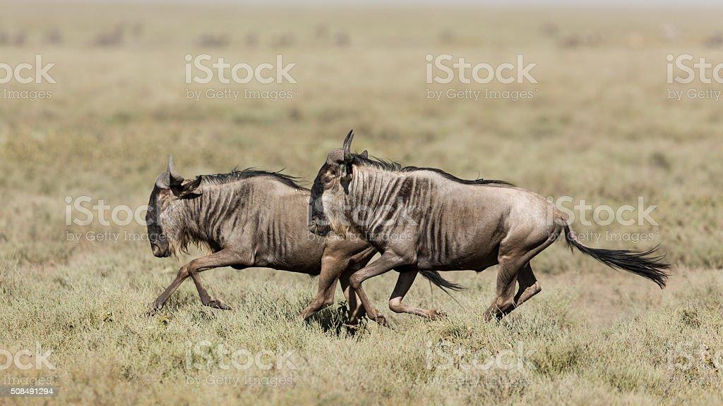 Two White Bearded Wildebeest running in Ndutu, Serengeti, Tanzania stock photo